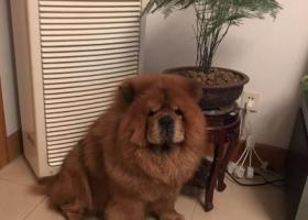 寻狗启示,黄色松狮犬不慎走丢,寻回酬谢,它是一只非常可爱的宠物狗狗,希望它早日回家,不要变成流浪狗。