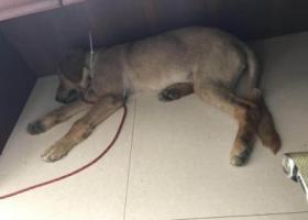 寻狗启示,捡到一条大金毛,公的,惠山区洛社镇洛神路,它是一只非常可爱的宠物狗狗,希望它早日回家,不要变成流浪狗。