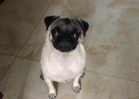 寻狗启示,无锡市江阴市森茂路寻找八哥犬,它是一只非常可爱的宠物狗狗,希望它早日回家,不要变成流浪狗。