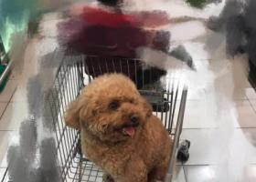 寻狗启示,定给重谢,寻找养了10年的贵宾,它是一只非常可爱的宠物狗狗,希望它早日回家,不要变成流浪狗。
