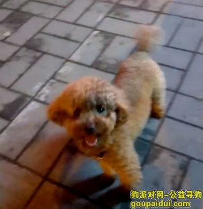 平顶山寻狗启示,寻找我家泰迪犬、六月五号,昨晚在劳动路南湛河上走失的泰迪犬、名字叮当,它是一只非常可爱的宠物狗狗,希望它早日回家,不要变成流浪狗。