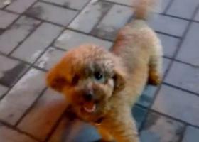 寻狗启示,寻找我家泰迪犬、六月五号,昨晚在劳动路南湛河上走失的泰迪犬、名字叮当,它是一只非常可爱的宠物狗狗,希望它早日回家,不要变成流浪狗。
