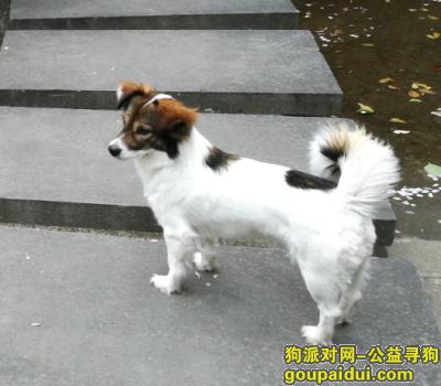 寻狗启示,杭州找狗!杭州市火炬大道与东冠路十字路口走丢!田园犬!名字毛毛!,它是一只非常可爱的宠物狗狗,希望它早日回家,不要变成流浪狗。