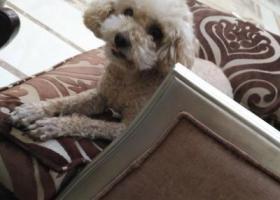 寻狗启示,8年爱犬丢失,疑似被偷,请大家帮忙留意,重金重谢!!!,它是一只非常可爱的宠物狗狗,希望它早日回家,不要变成流浪狗。