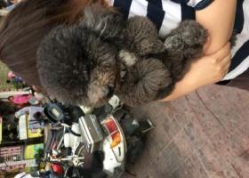 寻狗启示,东厦花园三期附近狗狗走丢了!,它是一只非常可爱的宠物狗狗,希望它早日回家,不要变成流浪狗。