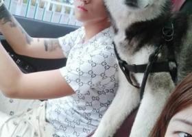 寻狗启示,7个半月大的哈士奇(六一),它是一只非常可爱的宠物狗狗,希望它早日回家,不要变成流浪狗。
