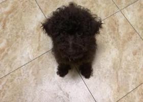 寻狗启示,于今日晚九点左右在小区捡到一只黑巧克力色小贵宾,它是一只非常可爱的宠物狗狗,希望它早日回家,不要变成流浪狗。