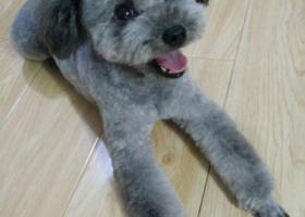 寻狗启示,寻找灰色泰迪,在河北区诺德中心走失,它是一只非常可爱的宠物狗狗,希望它早日回家,不要变成流浪狗。