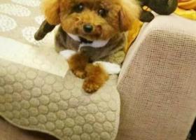 寻狗启示,【观城找狗】观城娘娘庙街至金鸣路一带丢失母棕色泰迪,它是一只非常可爱的宠物狗狗,希望它早日回家,不要变成流浪狗。