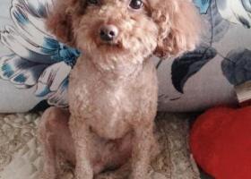 寻狗启示,县府街寻找泰迪宝宝,体型偏小!,它是一只非常可爱的宠物狗狗,希望它早日回家,不要变成流浪狗。