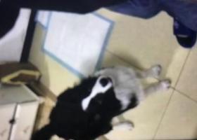 寻狗启示,宝贝(米粒儿)朝阳区小武基桥不慎丢失,它是一只非常可爱的宠物狗狗,希望它早日回家,不要变成流浪狗。