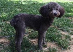 寻狗启示,寻找黑色泰迪一只,希望好心人帮忙,它是一只非常可爱的宠物狗狗,希望它早日回家,不要变成流浪狗。