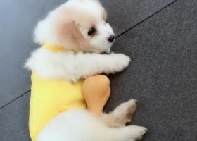 寻狗启示,三身人附近被人抱走一男一女一个小孩,它是一只非常可爱的宠物狗狗,希望它早日回家,不要变成流浪狗。