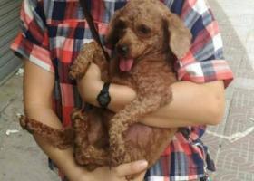 寻狗启示,4月14日在东莞虎门金州第二工业区捡到一贵宾狗,公!,它是一只非常可爱的宠物狗狗,希望它早日回家,不要变成流浪狗。