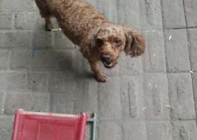 寻狗启示,南京市秦淮区莫愁路附近走丢一只泰迪母狗,小狗正在怀孕期间,它是一只非常可爱的宠物狗狗,希望它早日回家,不要变成流浪狗。
