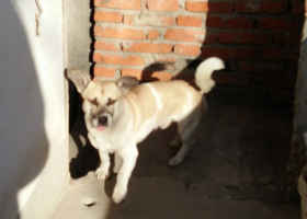 寻狗启示,寻找一只小土狗,重金酬谢!,它是一只非常可爱的宠物狗狗,希望它早日回家,不要变成流浪狗。