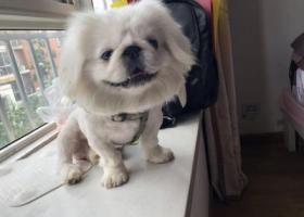 寻狗启示,田家庵区惠利翰林华府南门丢失京巴一只,它是一只非常可爱的宠物狗狗,希望它早日回家,不要变成流浪狗。