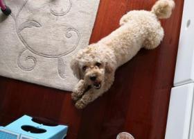 """寻狗启示,寻找一只名叫""""来福""""的黄色泰迪狗,它是一只非常可爱的宠物狗狗,希望它早日回家,不要变成流浪狗。"""