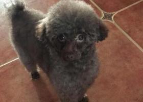 寻狗启示,临沂市兰山区北城新区金泰舒格兰酬谢五千元寻找泰迪,它是一只非常可爱的宠物狗狗,希望它早日回家,不要变成流浪狗。