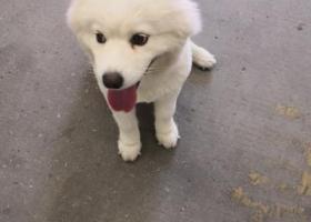 寻狗启示,白色的萨摩耶,很干净,,它是一只非常可爱的宠物狗狗,希望它早日回家,不要变成流浪狗。
