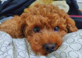 寻狗启示,10000元酬金寻赏爱女可乐(小体泰迪),它是一只非常可爱的宠物狗狗,希望它早日回家,不要变成流浪狗。