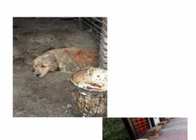 寻狗启示,金毛男宝宝寻找自己的主人 本人在狗肉馆救下的,它是一只非常可爱的宠物狗狗,希望它早日回家,不要变成流浪狗。