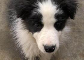 寻狗启示,寻狗,鼻尖有痣的边牧,它是一只非常可爱的宠物狗狗,希望它早日回家,不要变成流浪狗。