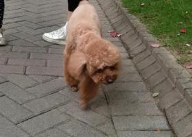 寻狗启示,上海往宁波方向杭州湾跨海大桥北服务区寻找泰迪,它是一只非常可爱的宠物狗狗,希望它早日回家,不要变成流浪狗。
