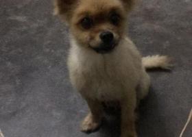 寻狗启示,我家的小狗是博美,名字叫宝贝,它是一只非常可爱的宠物狗狗,希望它早日回家,不要变成流浪狗。