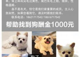 寻狗启示,博美串,上海阳城路附近走失,主人心急如焚,忘好心人提供线索,它是一只非常可爱的宠物狗狗,希望它早日回家,不要变成流浪狗。