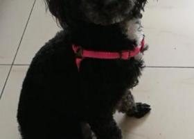 寻狗启示,合肥市北二环附近杏林北村黑泰迪走失,它是一只非常可爱的宠物狗狗,希望它早日回家,不要变成流浪狗。