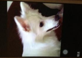 寻狗启示,寻河东大桥道白色银狐,它是一只非常可爱的宠物狗狗,希望它早日回家,不要变成流浪狗。