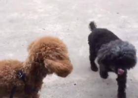 黑色的泰迪狗,2018年6月12号在秀灵路东博机电城东区走丢
