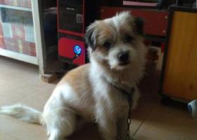 寻狗启示,潮南区,家美家一村,一只哈巴狗,基本白色,还有一点褐色。,它是一只非常可爱的宠物狗狗,希望它早日回家,不要变成流浪狗。