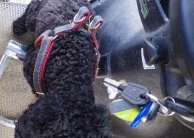 寻狗启示,捡到的是一只黑色贵宾犬,它是一只非常可爱的宠物狗狗,希望它早日回家,不要变成流浪狗。