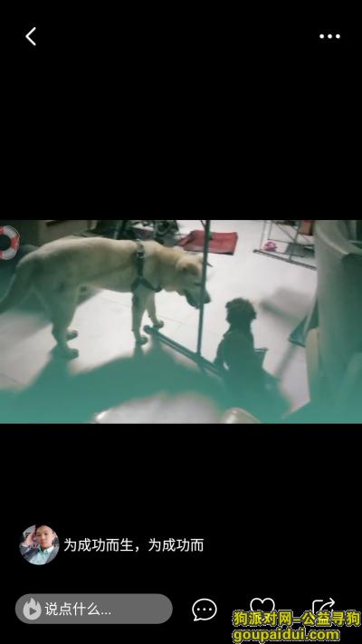 寻狗启示,寻找丢失的小野牛拉布拉多,今天凌晨五点左右走失,它是一只非常可爱的宠物狗狗,希望它早日回家,不要变成流浪狗。