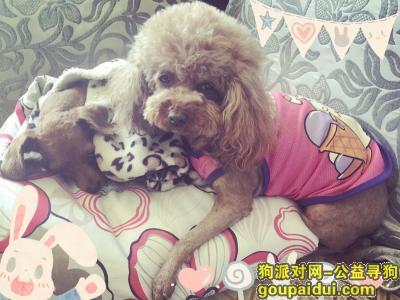 寻狗启示,寻狗启示  泰迪母狗,在吉林市桃源山庄走丢,它是一只非常可爱的宠物狗狗,希望它早日回家,不要变成流浪狗。