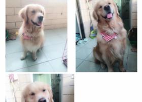 寻狗启示,寻找金毛犬60斤感谢万分,它是一只非常可爱的宠物狗狗,希望它早日回家,不要变成流浪狗。