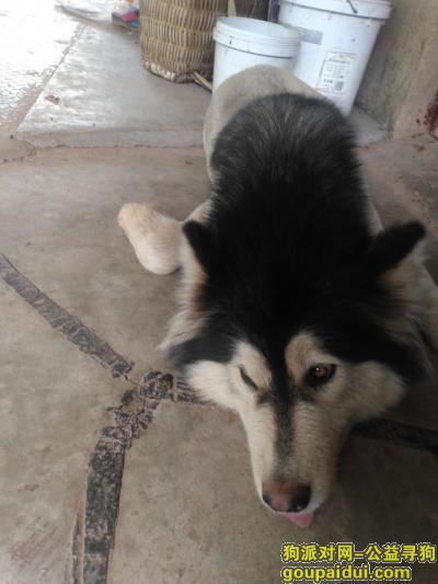 攀枝花寻狗启示,一只被剪成狮子样的阿拉斯加,希望有人可以找到它!,它是一只非常可爱的宠物狗狗,希望它早日回家,不要变成流浪狗。
