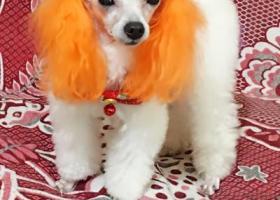 寻狗启示,寻找爱犬丁丁,希望好心人能提高信息,丁丁赶快回到妈妈身边来,它是一只非常可爱的宠物狗狗,希望它早日回家,不要变成流浪狗。