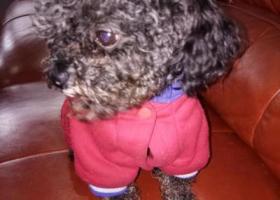 寻狗启示,黑灰泰迪6月14日上午在毛家花园附近走失,它是一只非常可爱的宠物狗狗,希望它早日回家,不要变成流浪狗。