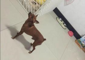 寻狗启示,悬赏三千元寻找爱犬小鹿犬,它是一只非常可爱的宠物狗狗,希望它早日回家,不要变成流浪狗。
