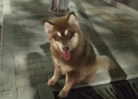 寻狗启示,通州东关大桥附近捡到红毛哈士奇一只,急寻主人!,它是一只非常可爱的宠物狗狗,希望它早日回家,不要变成流浪狗。