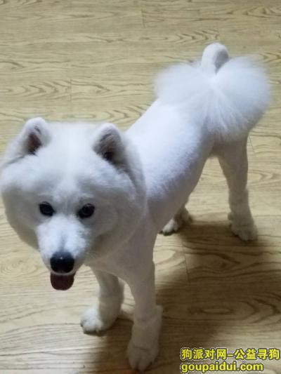 马鞍山丢狗,寻找马鞍山剃毛萨摩耶!,它是一只非常可爱的宠物狗狗,希望它早日回家,不要变成流浪狗。