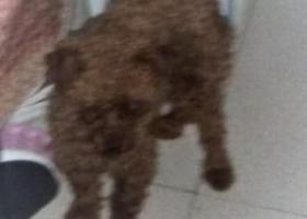 寻狗启示,寻找一只棕色泰迪,个子小,性格胆小。,它是一只非常可爱的宠物狗狗,希望它早日回家,不要变成流浪狗。