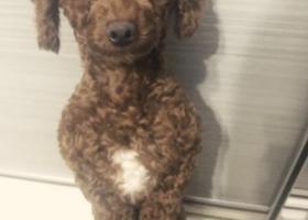 寻狗启示,上海浦东新区寻棕色泰迪,它是一只非常可爱的宠物狗狗,希望它早日回家,不要变成流浪狗。