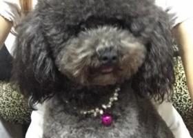 寻狗启示,寻狗宝宝黑灰色泰迪母体,它是一只非常可爱的宠物狗狗,希望它早日回家,不要变成流浪狗。