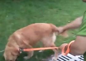 寻狗启示,急寻爱犬检到的好心人返还重谢五千元,它是一只非常可爱的宠物狗狗,希望它早日回家,不要变成流浪狗。