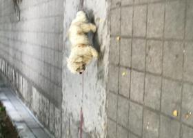 寻狗启示,广州市荔湾区金道花苑小区内,有狗仔走失,它是一只非常可爱的宠物狗狗,希望它早日回家,不要变成流浪狗。