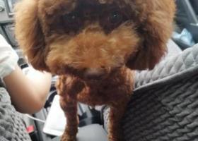 寻狗启示,寻找棕红色泰迪(小九)母,它是一只非常可爱的宠物狗狗,希望它早日回家,不要变成流浪狗。